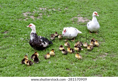 three big muscovy duck with chickens  - stock photo