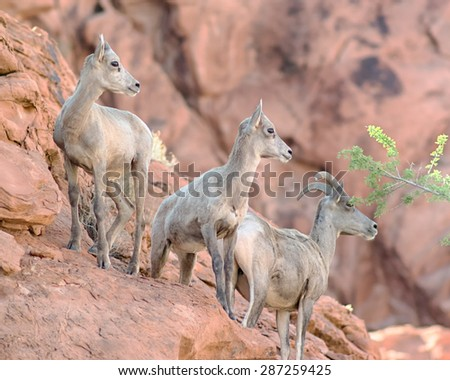 Three bighorn sheep climbing on the rocks in the Valley of Fire State Park, near Las Vegas, Nevada. - stock photo