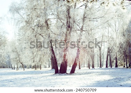 three birch trunk in the snow with glare on a sunny day - stock photo