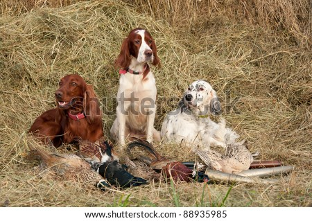 Three Bird dog resting after the hunt beside a shotguns and pheasants in front of a hay, horizontal - stock photo