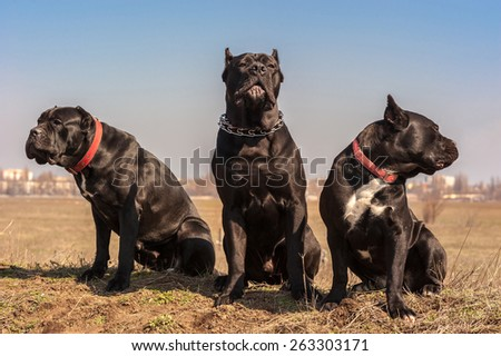 Three Black Cane-Corso dogs sit on the field - stock photo