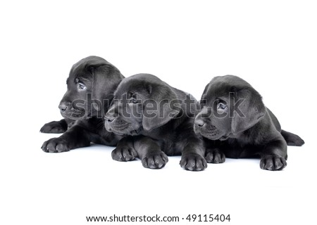 Three black lab puppies, two  months old. - stock photo