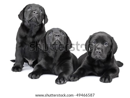 Three black labrador puppies, two  months old. - stock photo
