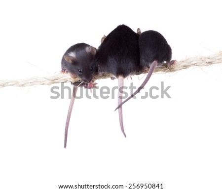 Three black mouse sitting on a rope. Isolated on white background - stock photo