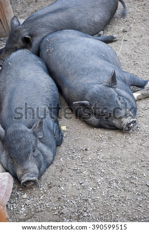 Three black pig sleeping on the sand