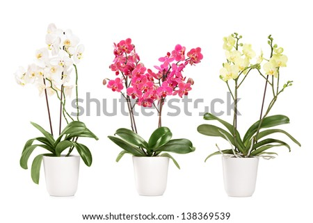 Three blooming orchids in pots, isolated on white background - stock photo