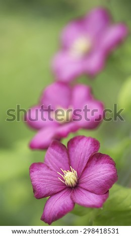 Three blooms of pink Clematis - stock photo