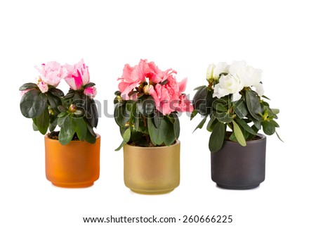 Three blossoming mini-azaleas of different color on a white background - stock photo