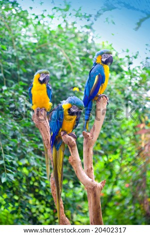 Three '' Blue and Yellow Macaw (Ara ararauna)'' perched on tree stumps