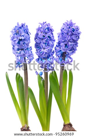 Three blue flowers hyacinth with green leaves isolated on white - stock photo