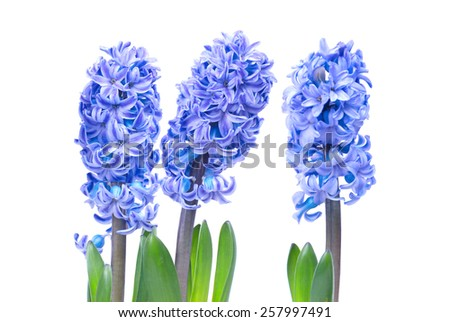 Three blue flowers hyacinthes with green leaves isolated on white - stock photo