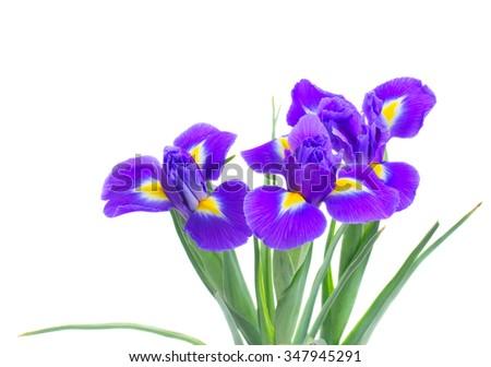 Three blue fresh irises isolated on white background - stock photo