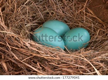 Three blue robin eggs in a nest - stock photo