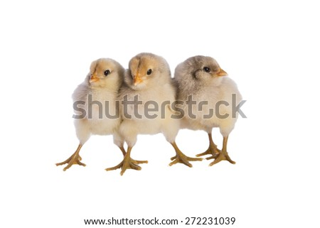 Three blue wheaton Ameraucana chicks together isolated on white background - stock photo
