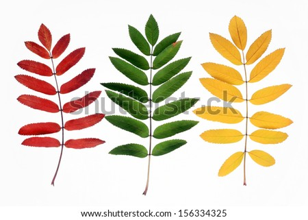 Three branches of a mountain ash on a white background
