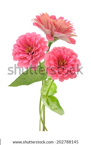 three branches of pink zinnia flowers isolated on white