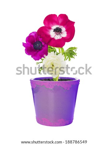 three bright anemone flowers in lilac flower pot , isolated on white - stock photo