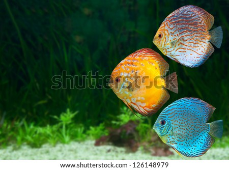 Three bright discus, freshwater fish native to the Amazon River, in aquarium - stock photo