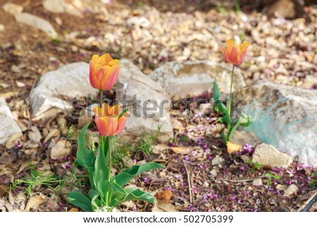Three bright flowering orange tulips
