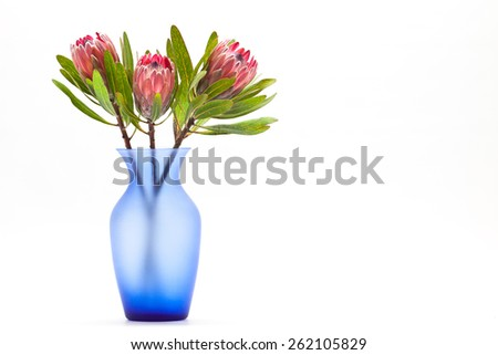 Three bright red Protea flowers in translucent blue vase on light,bright background with text space - stock photo