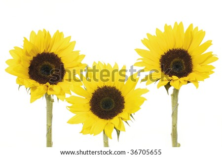Three bright sunflower collage