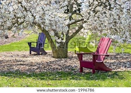 Three brightly colored adirondak chairs under a blossoming White Star Magnolia tree.  Sunny spring day. - stock photo