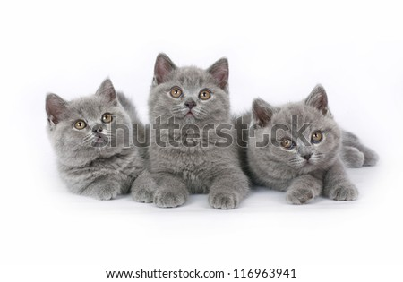 Three British kitten on white background.