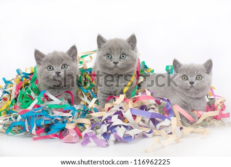 Three British kitten with Christmas tinsel. - stock photo