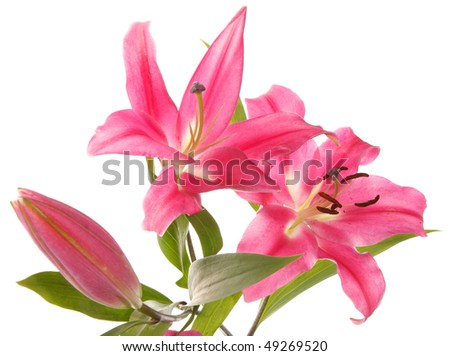 three bud pink lilies on a white background. Isolation