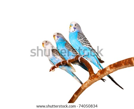 Three budgerigars on a white background. - stock photo