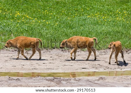 Three Buffalo Calves - stock photo
