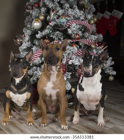 Three Bull Terriers in front of the Christmas Tree - stock photo