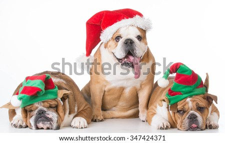three bulldogs dressed up for christmas on white background