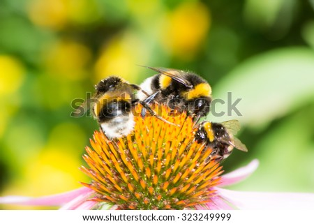 Three bumblebees on the blossom of an echinacea flower - stock photo