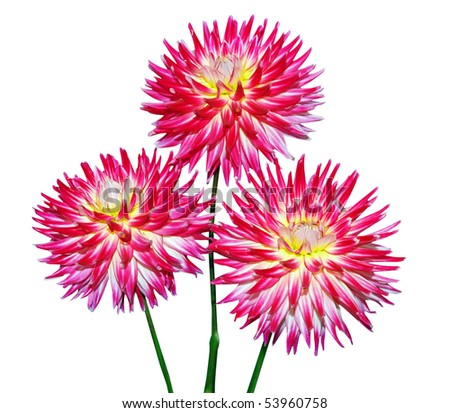 Three Cactus Dahlia isolated with clipping path - stock photo