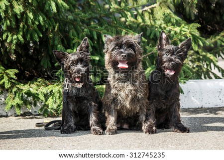 Three Cairn terrier in the street - stock photo
