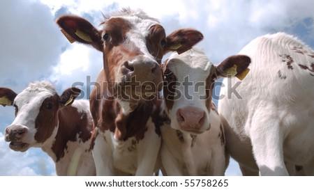 Three calves looking into the camera - stock photo