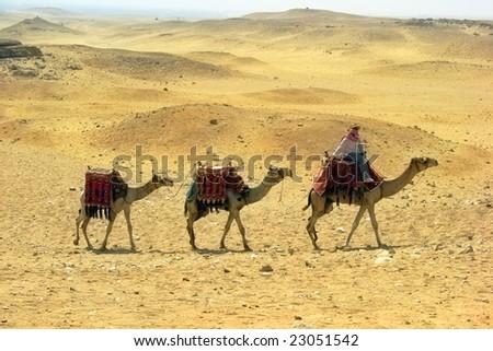 Three camel caravan going through the sand desert near pyramid in the Egypt - Cairo - Giza - stock photo