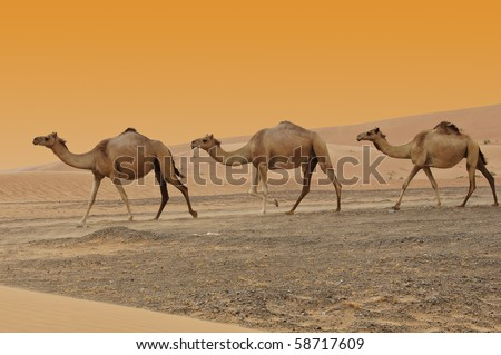 Three Camels in a Dubai Desert at sunset - stock photo