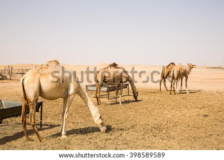Three camels standing in a desert and eating near Abu Dhabi city - stock photo