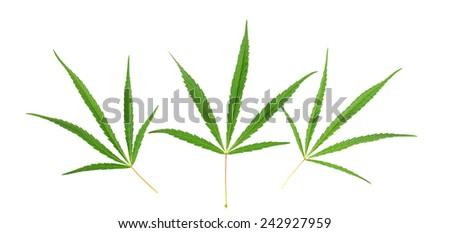 Three cannabis leaf isolated on white background - stock photo