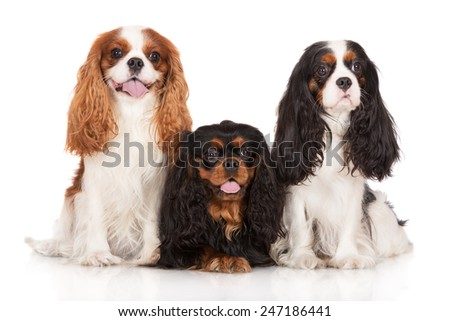 three cavalier king charles spaniel dogs together on white - stock photo