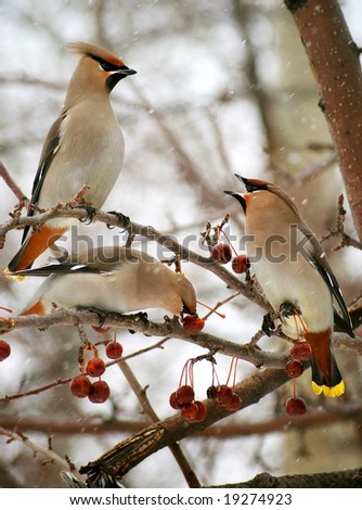 Three cedar waxwings eating an crab apples - stock photo