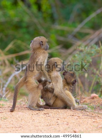 Three Chacma baboon (Papio cynocephalus) babies standing alert in South Africa - stock photo