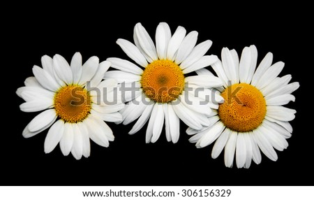 Three Chamomiles isolated on a black background - stock photo