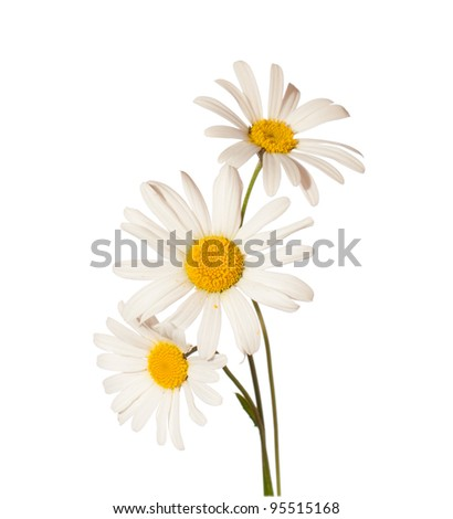 three Chamomiles isolated on white background - stock photo