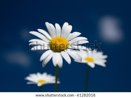 three chamomiles on blue sky background, selective focus - stock photo