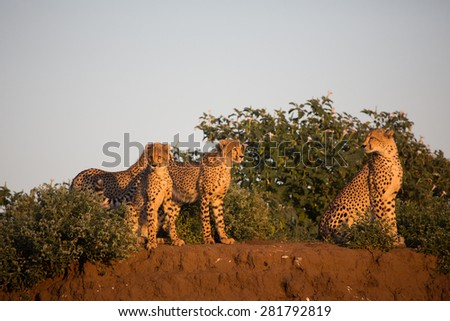 Three cheetah cubs and their mother standing in golden light on the edge of a low cliff of red soil. - stock photo