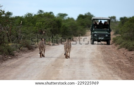 Three cheetah on a game reserve walk towards the tourists in the game viewing vehicle. - stock photo