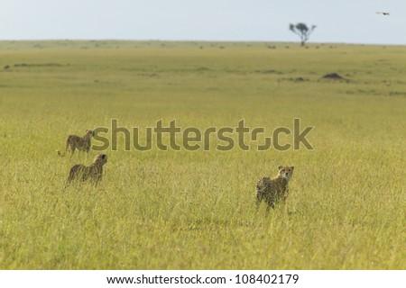 Three Cheetahs at Masai Mara near Little Governor's camp in Kenya, Africa - stock photo